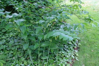 Polygonatum biflorum (dwarf solomon's seal)