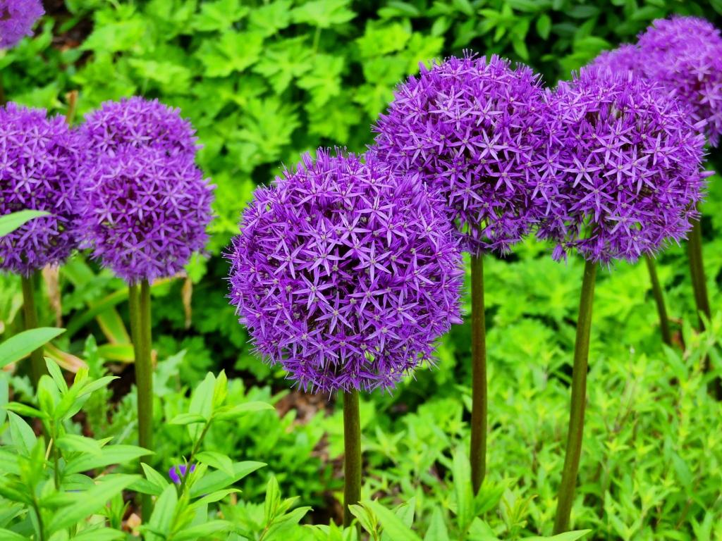 Allium giganteum (ornamental onion)