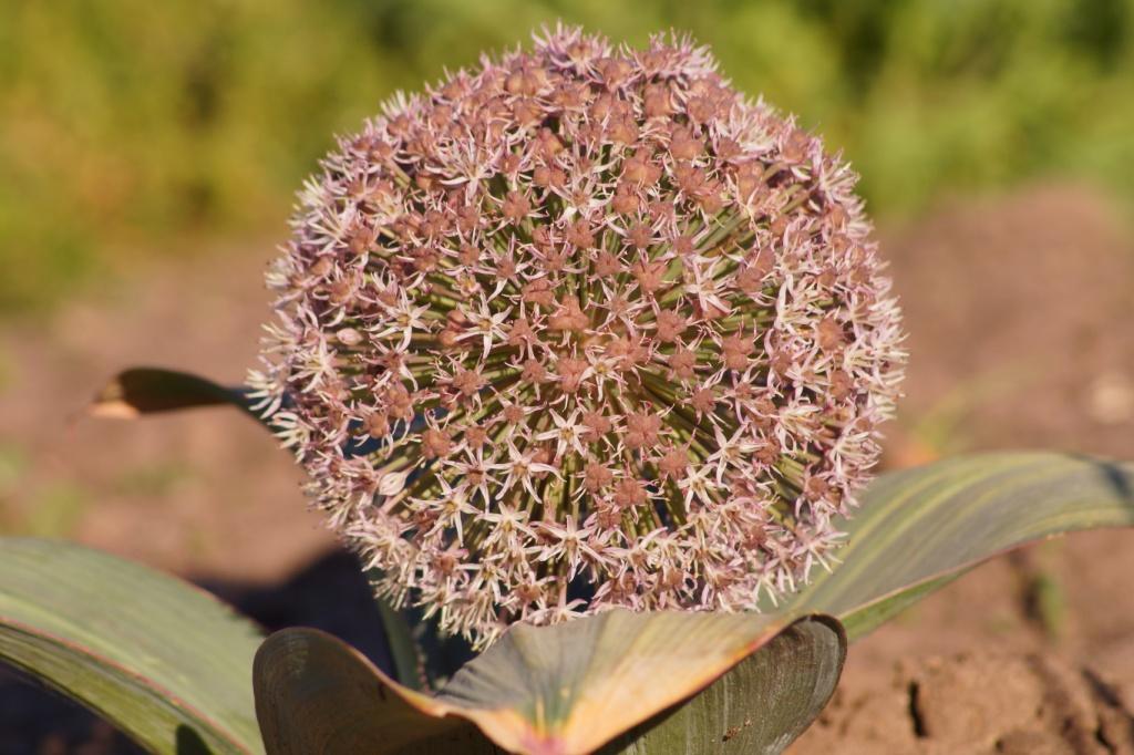 Allium karataviense (ornamental onion)