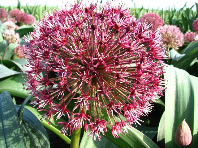 Allium karataviense 'Red Giant' (ornamental onion)