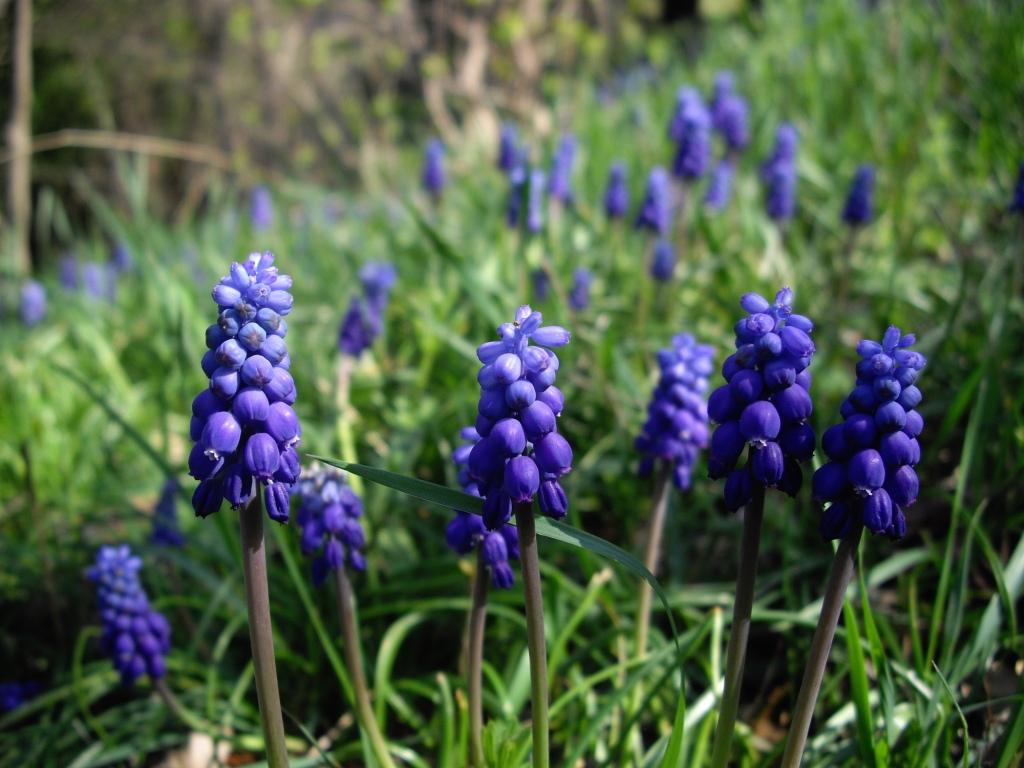 Muscari armeniacum 'Alida' (grape hyacinth)