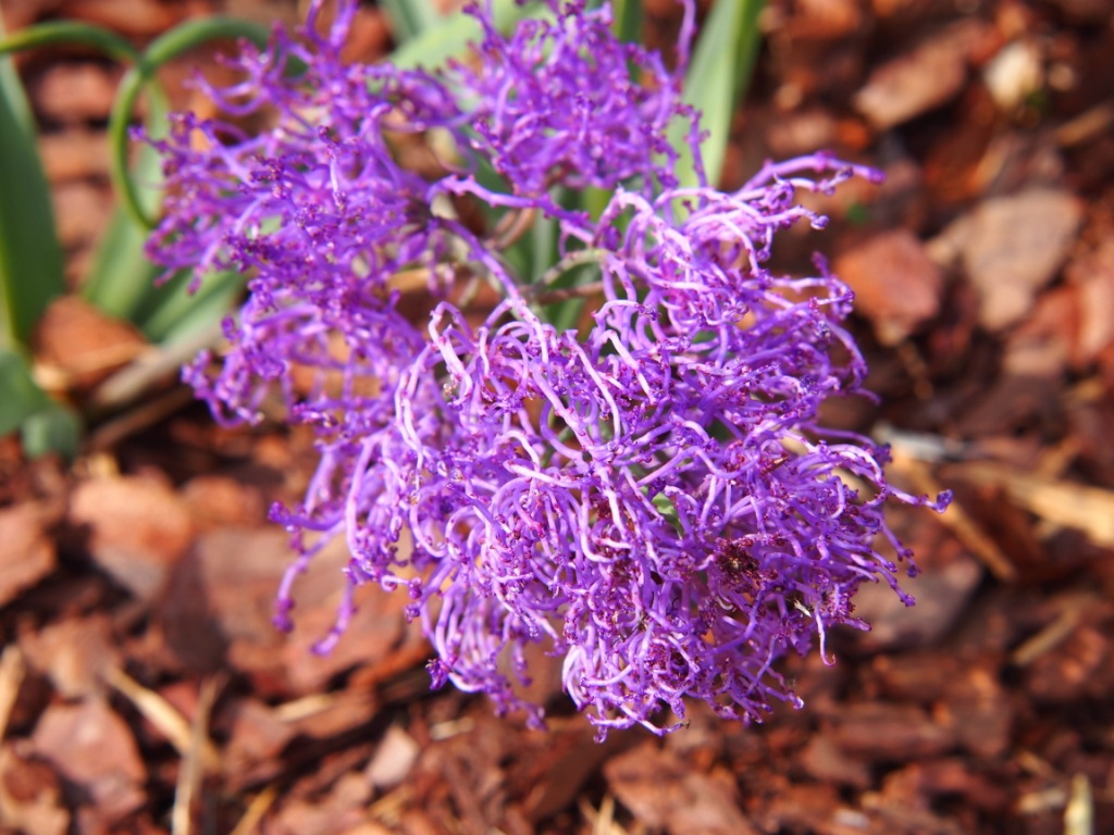 Muscari comosum 'Plumosum' (tassel hyacinth)