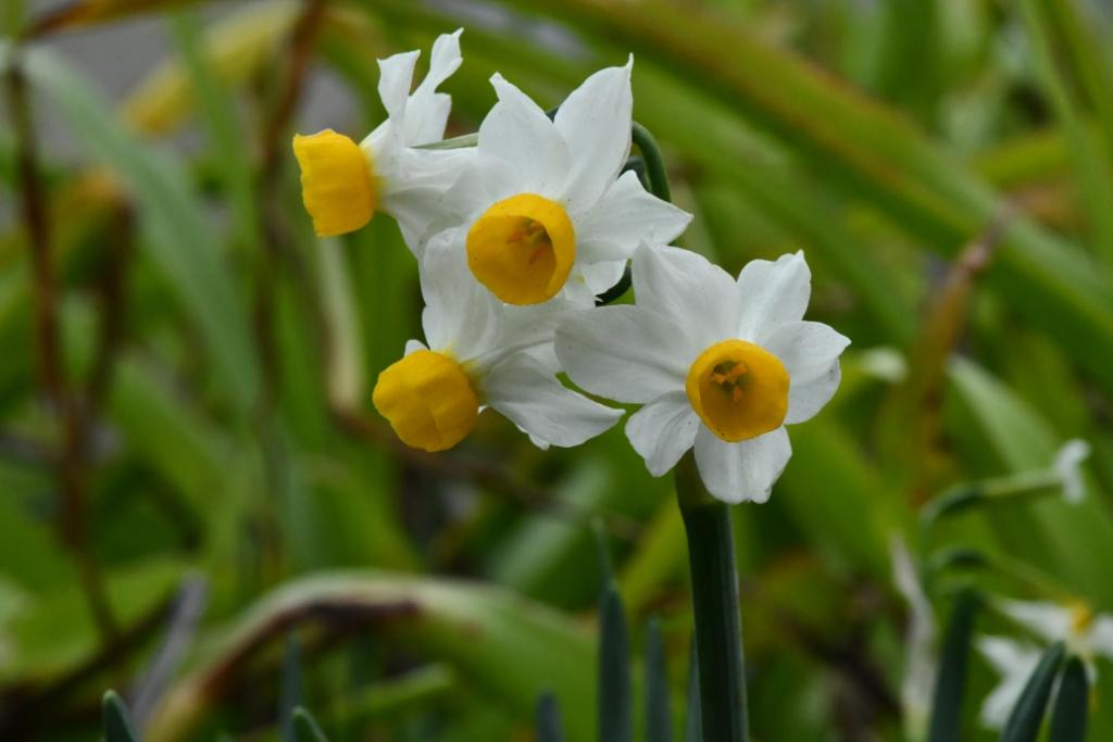 Narcissus canaliculatus (miniature daffodil)