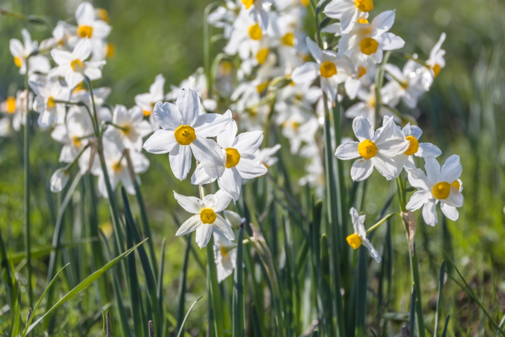 Narcissus tazetta 'Odoratus' (daffodil)