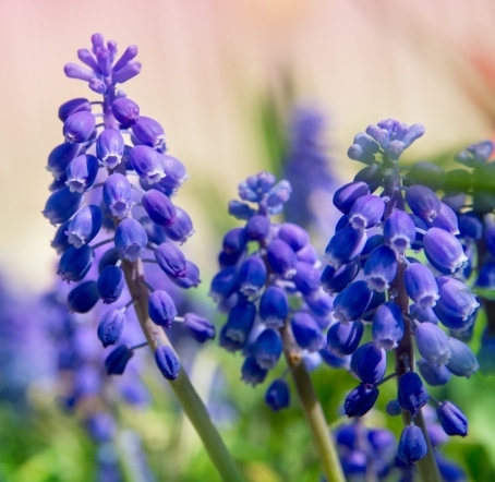 Muscari armeniacum 'Alida' (grape hyacinth)