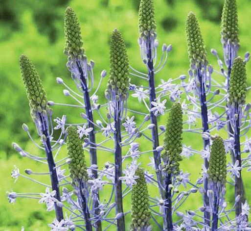 Scilla hyacinthoides 'Blue Arrow'