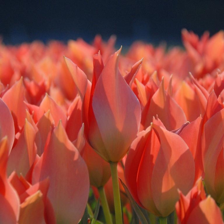 Tulipa batalinii 'Salmon Gem' (tulip)