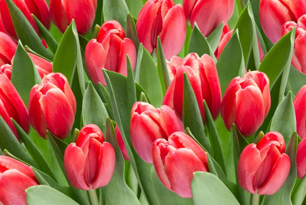 Tulipa clusiana 'Annika' (tulip)