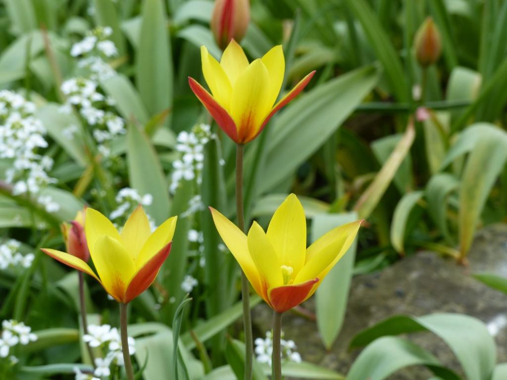 Tulipa clusiana var chrysantha (lady tulip)