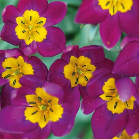 Tulipa humilis 'Persian Pearl' (tulip)