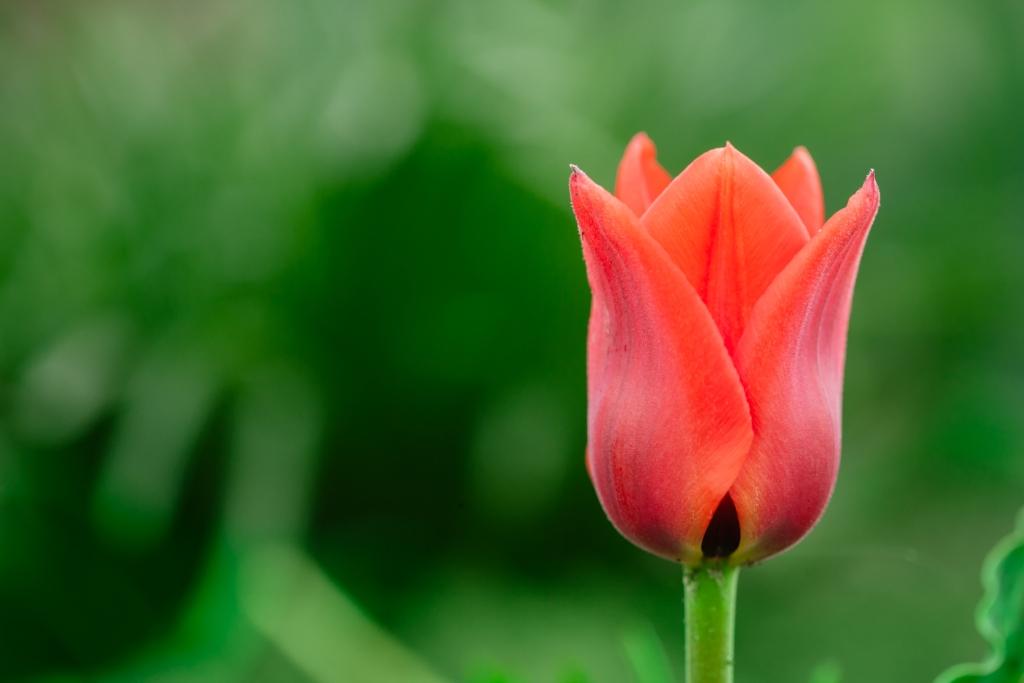 Tulipa praestans 'Bloemenlust' (tulip)