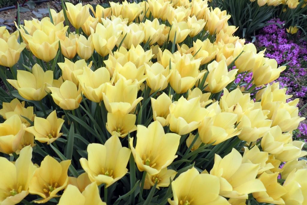 Tulipa batalinii 'Honky Tonk' (tulip)
