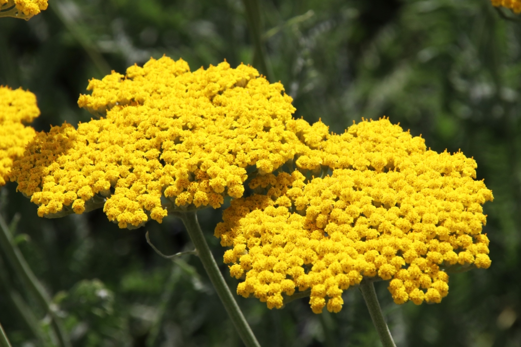 Achillea filipendulina 'Coronation Gold' (yarrow)