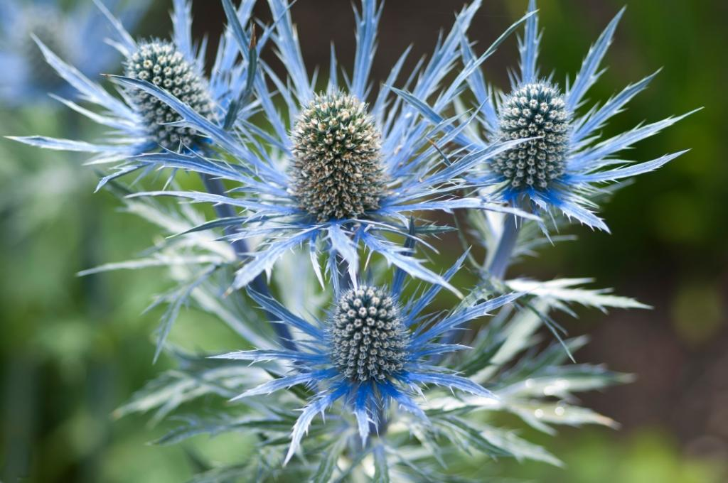 Eryngium Zabelii 'Big Blue' (sea holly)