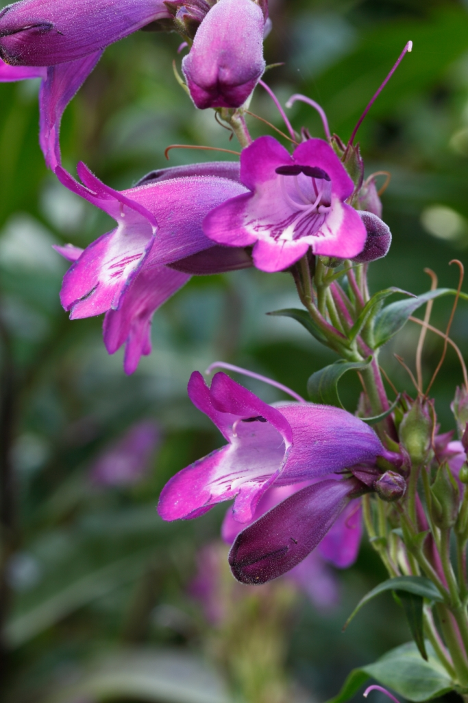 Penstemon x mexicale 'Shadow Mountain'