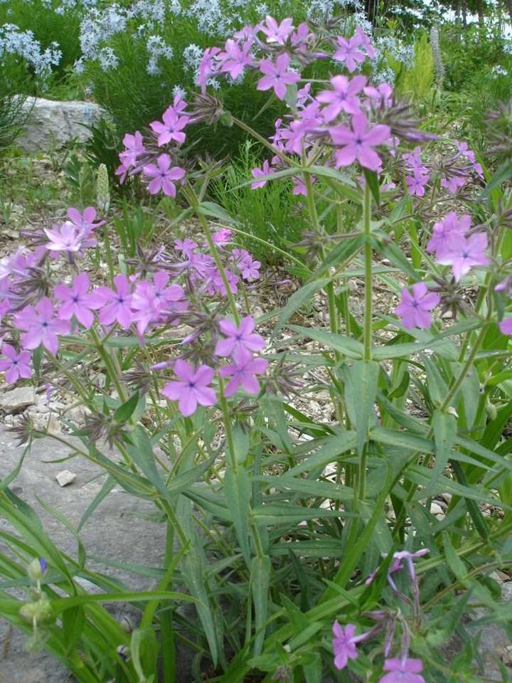 Phlox pilosa 'Lavender Cloud'