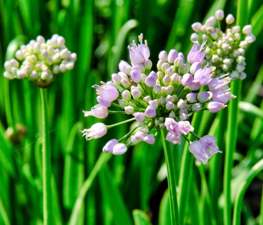 Allium lusitanicum 'Summer Beauty'