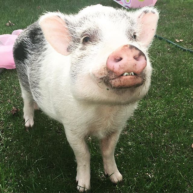 When you're having so much fun at your photo shoot that you can't stop smiling.... 😂😂😂 more images coming soon from this hilarious boar-doir shoot!  #pigstagram #pigsofinstagram #micropig #bigsmiles #bts #iphoneonly #piggies #stephaniemoorephoto