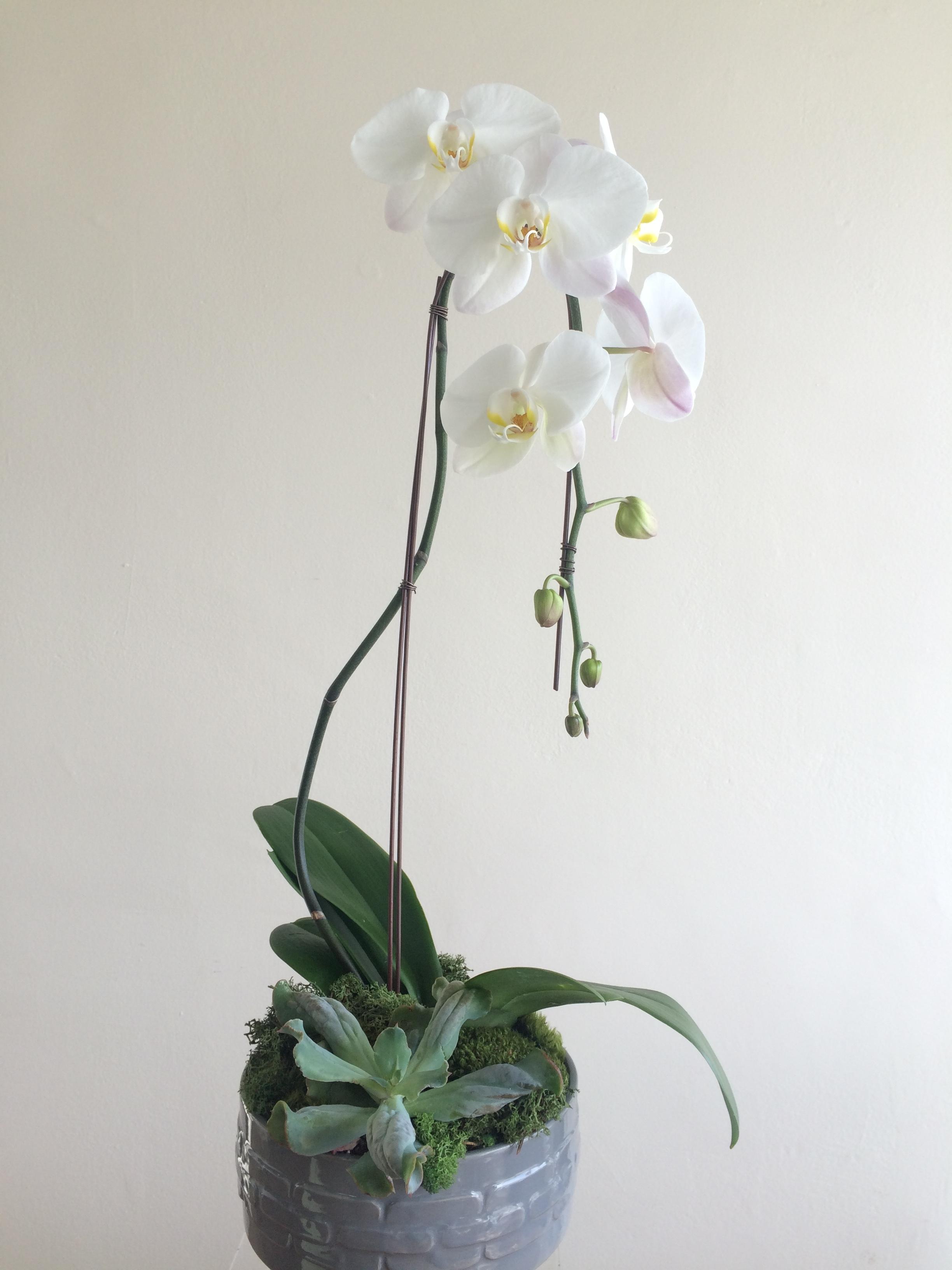 Single Phalaenopsis