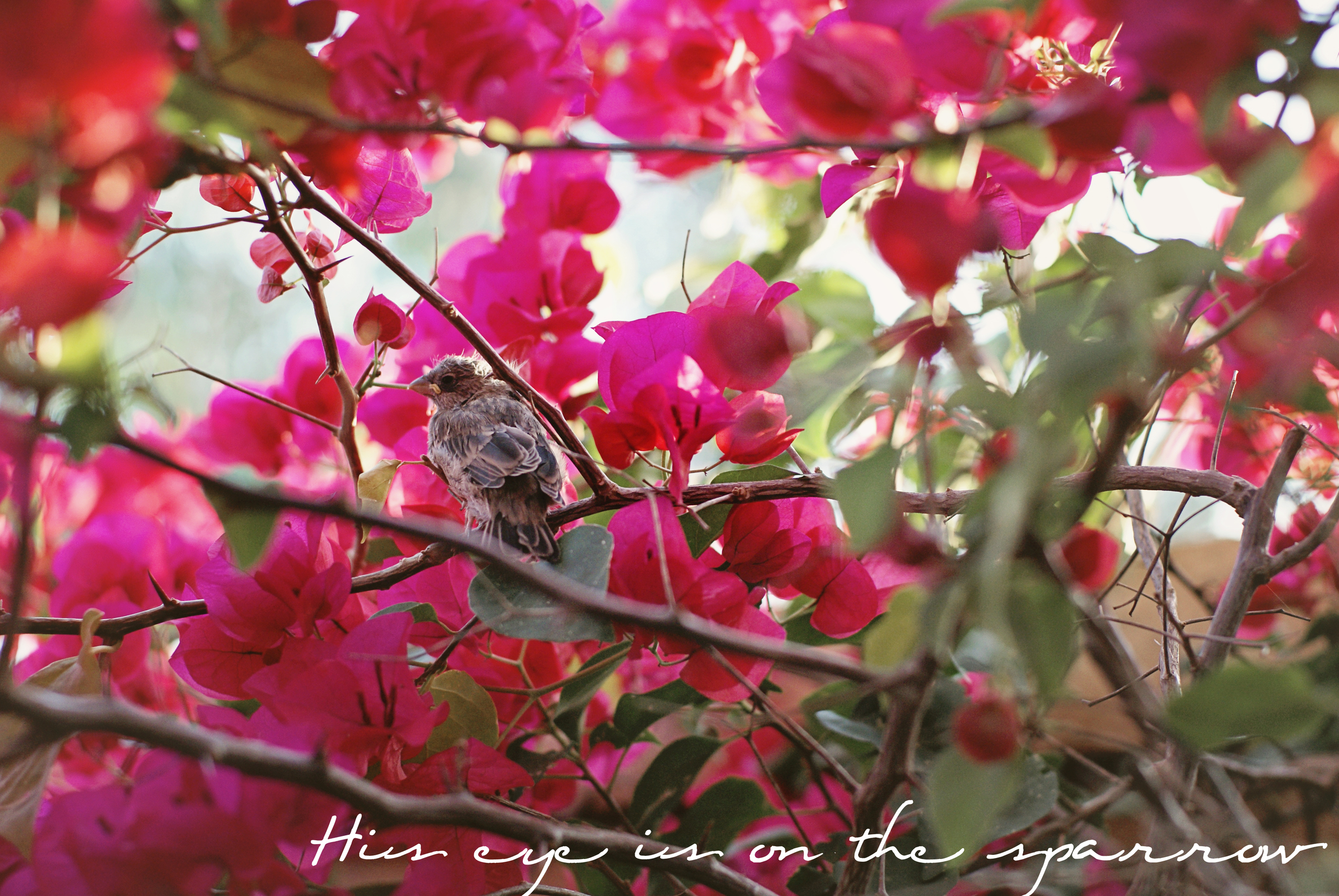 This little fledgling learned to fly in our backyard.  A chorus of birds sang notes of encouragement around it for days.  The mama watched close by.