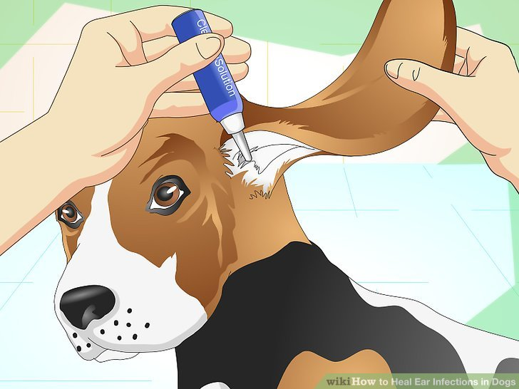 aid1475436-v4-728px-Heal-Ear-Infections-in-Dogs-Step-14.jpg