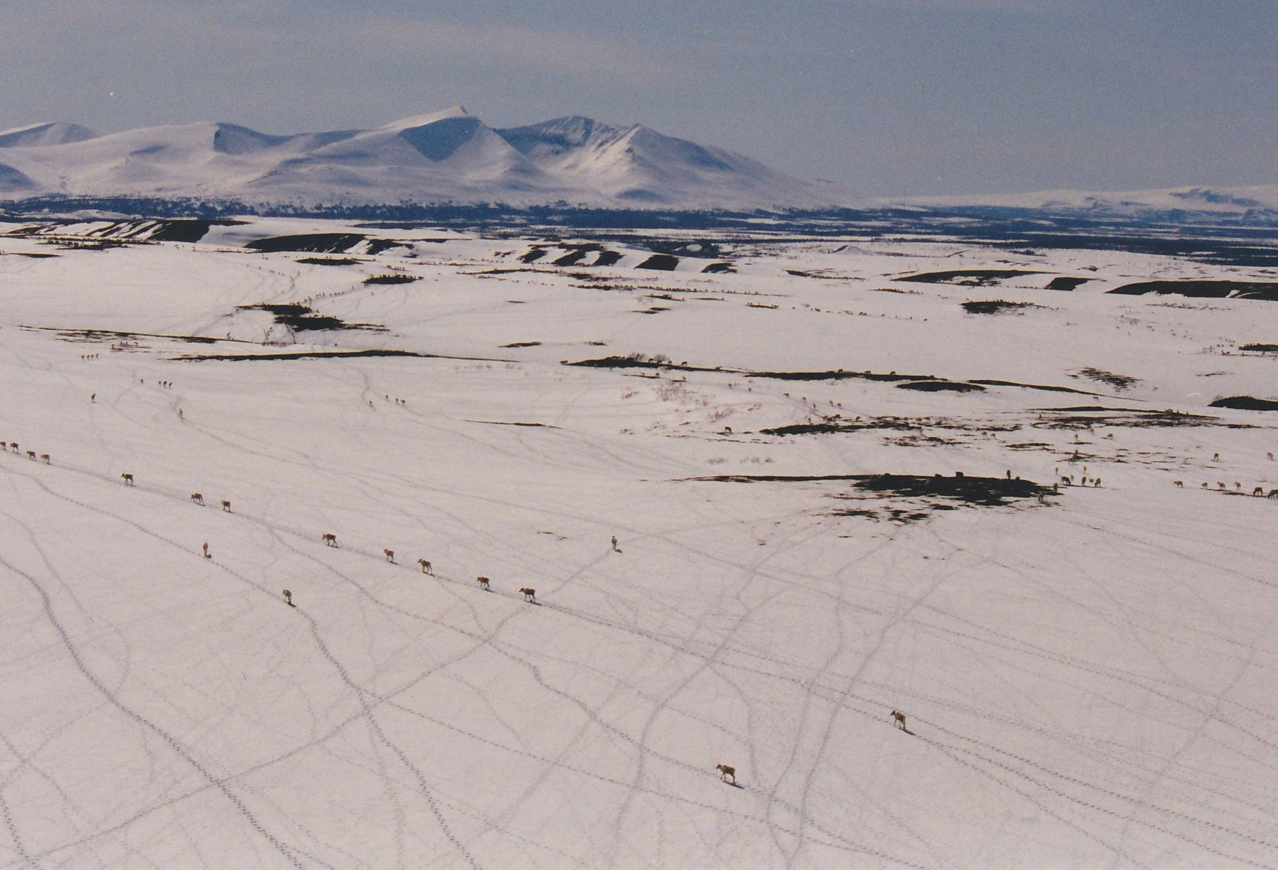 Caribou every where and the many trails they made. Tikchik Mountain in the background.