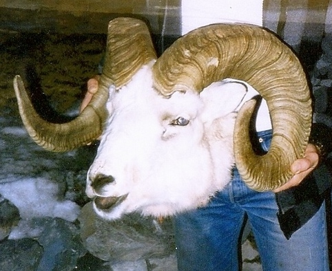 """I'm holding the 41"""" ram that got away. Notice the bullet hole in the left horn. The ram scored 165 B&C. Paul Claus brought the head into Anchorage to show me. It was mounted and is hanging at the Ultima Thule lodge."""