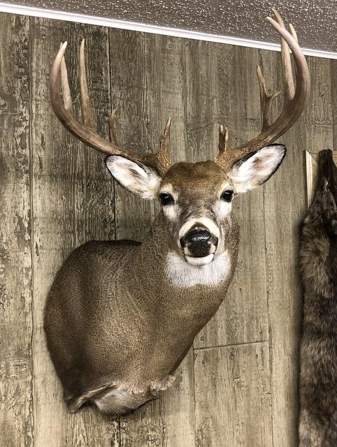 My beautiful deer mounted by Mike Meyer of Meyer Taxidermy Studio in Goose Lake, IA.