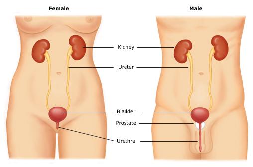 UrinaryTractAnatomy.jpeg #liftlaughkegel