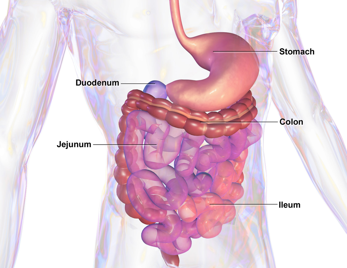 For more in-depth detail about digestion, please see  http://www.womens-health-advice.com/digestive-system.html