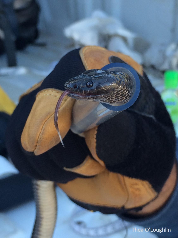 small eyed snake watermarked jpg.jpg