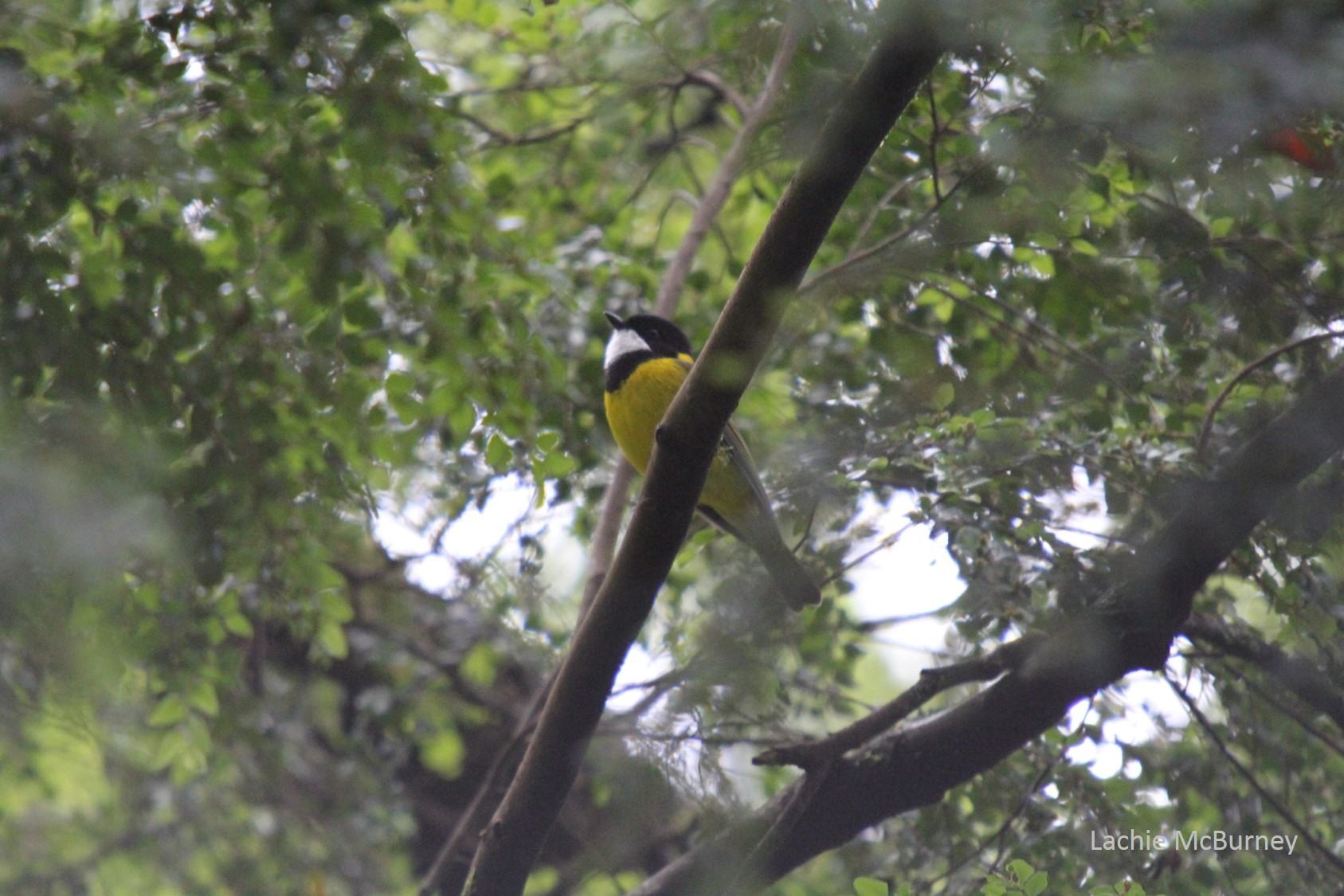 Male Golden Whistler's are easily identified by their bright yellow underside and strong musical song.