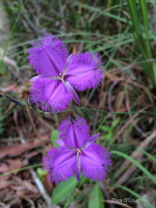 fringe lily WM small jpg.jpg