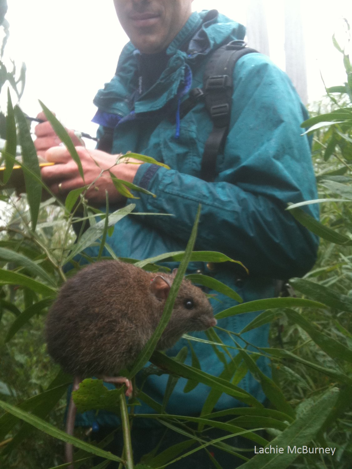 Dr. Sam Banks undertaking his small mammal surveys after the Black Saturday bushfires in 2009.  This Bush Rat  Rattus fuscipes  was released from a trap and didn't seem to concerned with our presence!