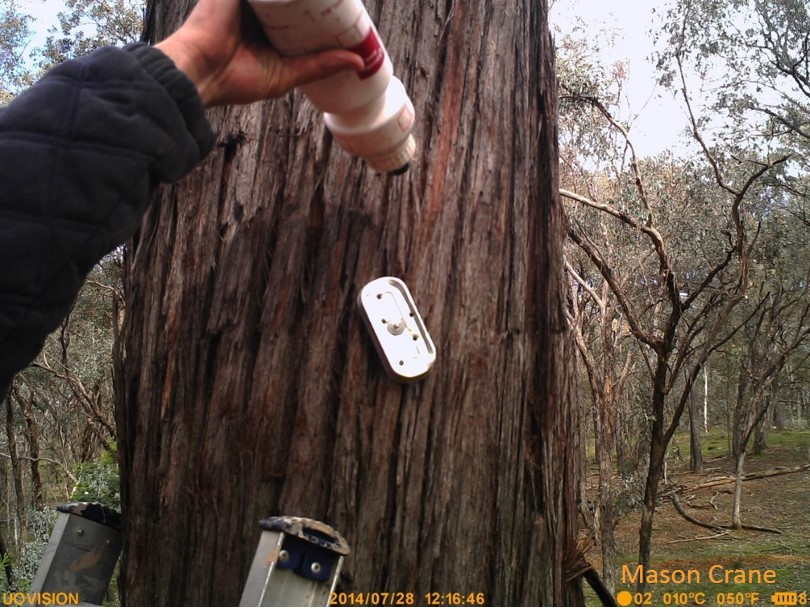 Baiting the camera trap. Spraying the tree with diluted honey after nailing the perforated sardine tin to the tree.