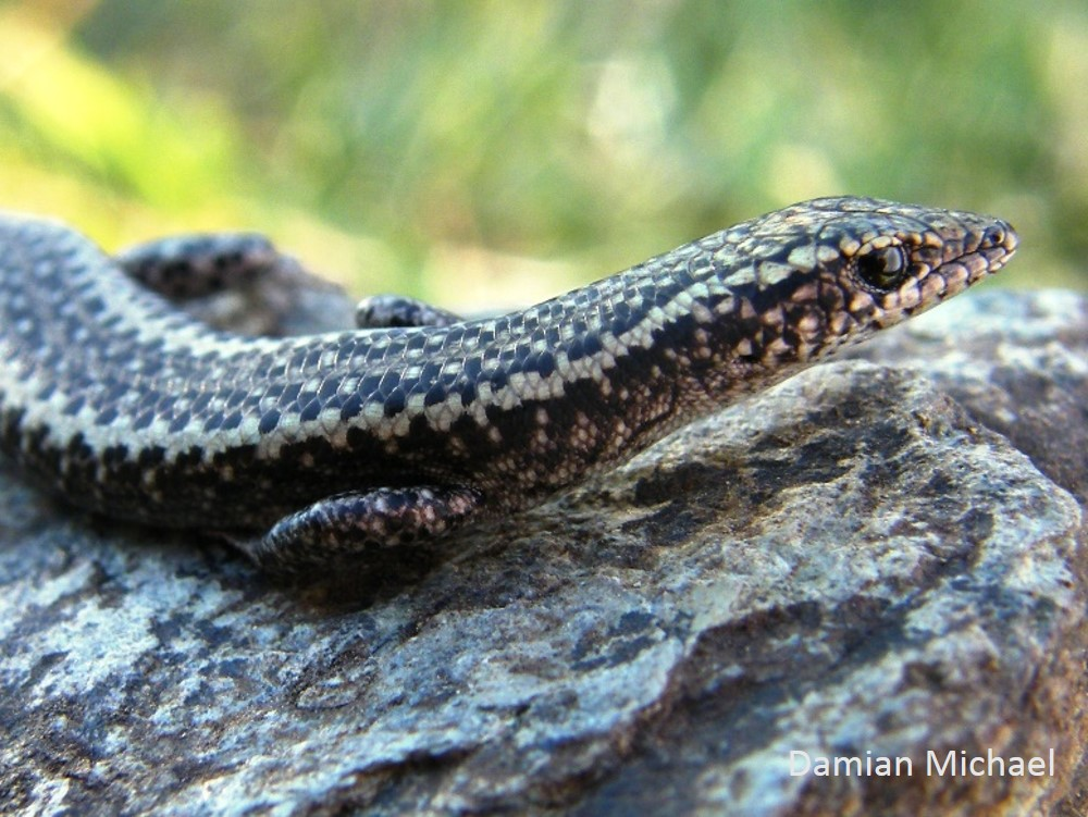 The Ragged Snake-eyed Skink was found in places with a high number of large trees.