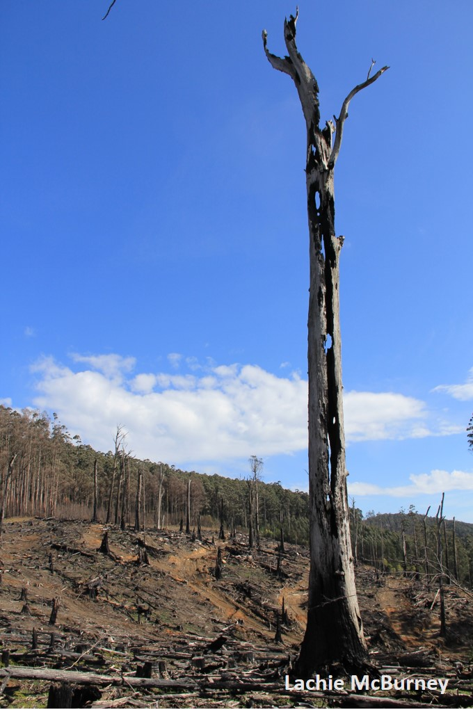 Regeneration burns of logging coupes often kills retained large old trees. Even if they survive this fire, they are vulnerably exposed and face fierce competition for resources.