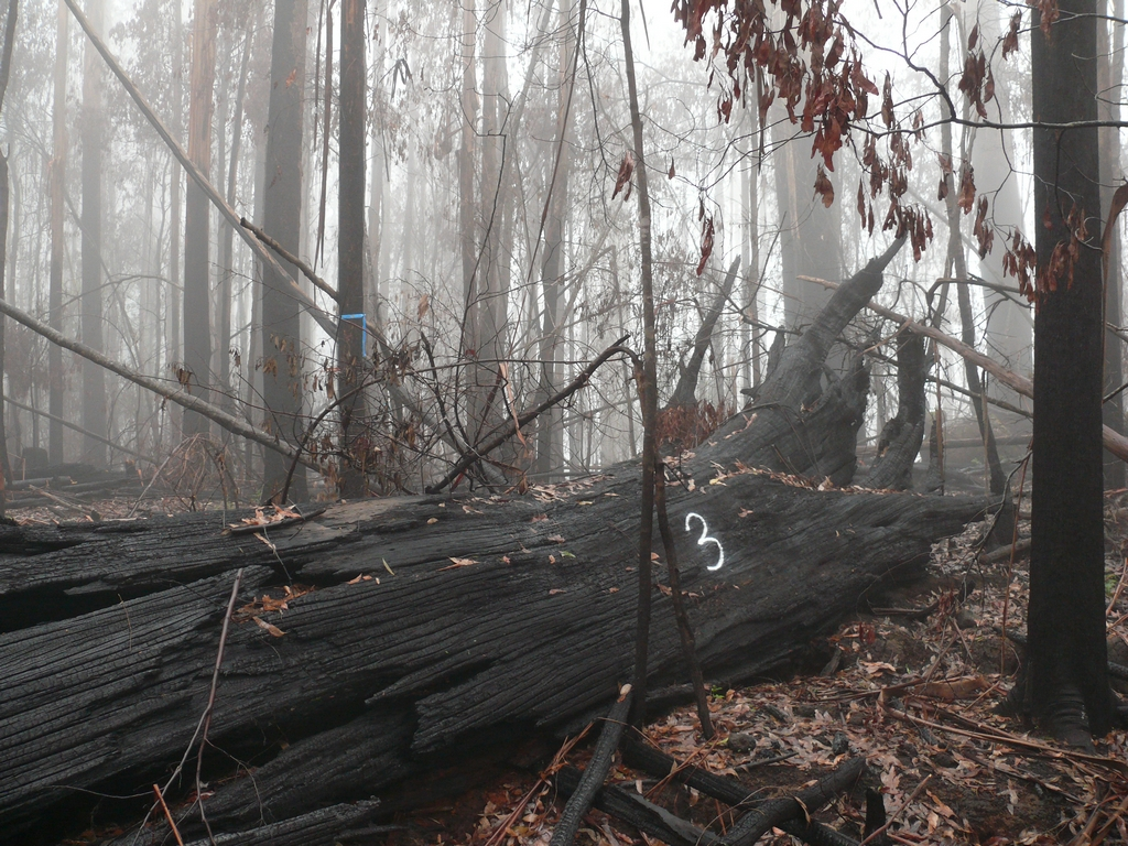 Following the 2009 fires, many of the large hollow bearing trees either collapsed as this one has done, or were totally burnt out up the middle.  Either way, they are no longer functional denning sites for any of the possums or gliders.