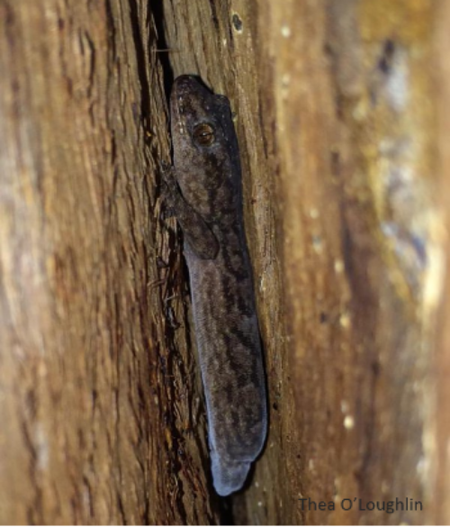 If you want to find a gecko, we suggest checking under the bark of a tree. Picture: Thea O'Loughlin.