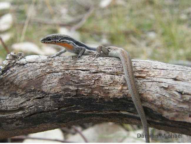 Boulenger's Skink is the most abundant reptile species in grassy woodlands and is associated with rocks, logs, and litter. Photo: Damian Michael