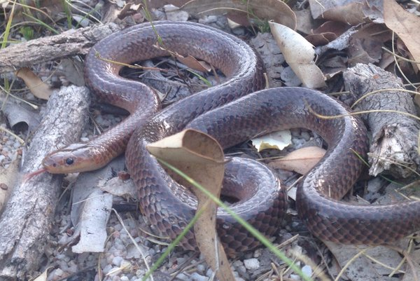 Carpentaria Snake was recorded on a Stewardship Study site west of Tenterfield. This is a   new species for the study, and the second record outside of Queensland. Photo: Mason Crane.