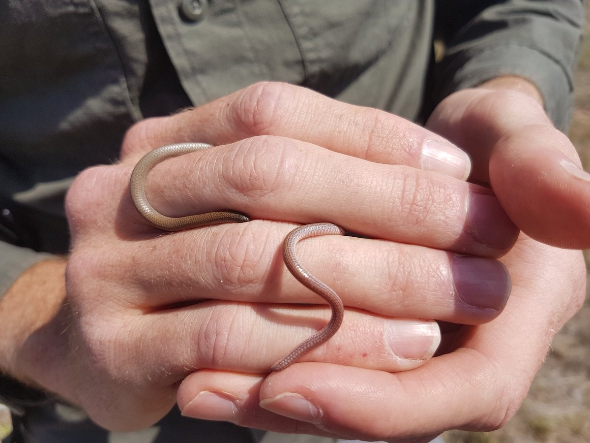 Pink-tailed Worm-lizard in the hand