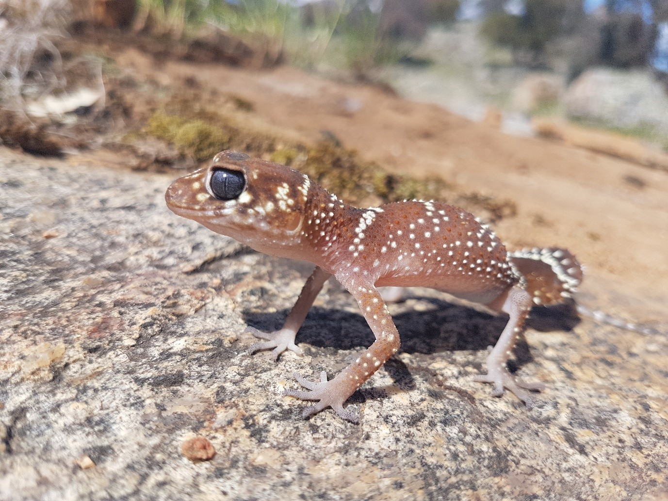 Thick-tailed Gecko: Dave Smith