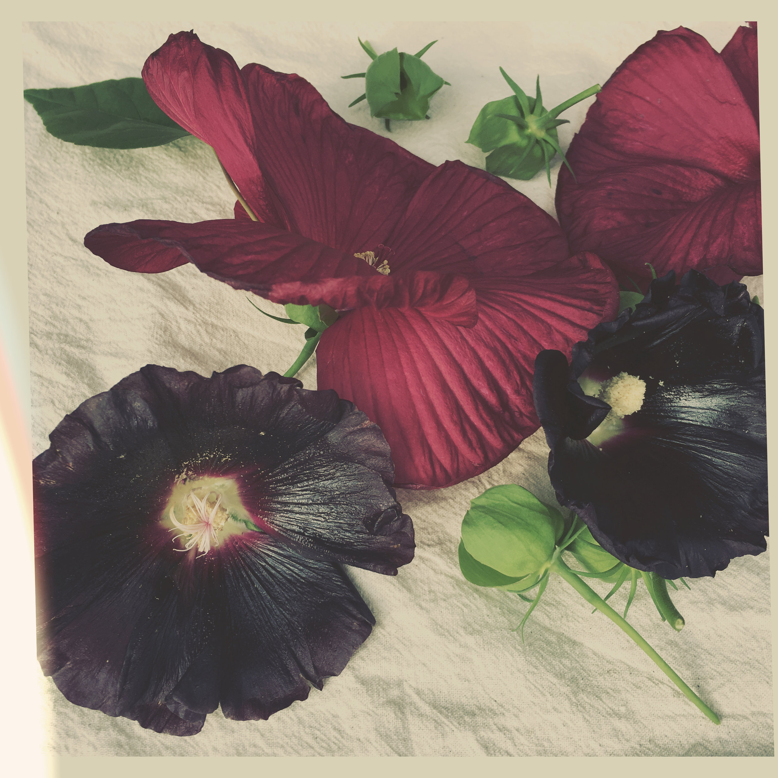Deep red Hibiscus (above) shown with Nigra hollyhocks.
