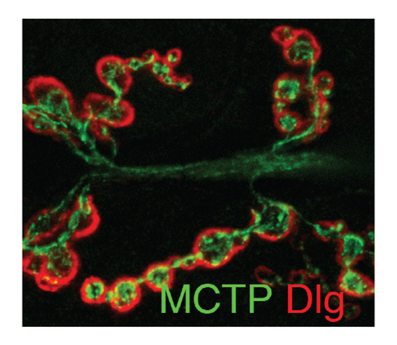 Genç Ö, Dickman DK, Ma W, Tong A, Fetter RD, Davis GW. (2017) MCTP is an ER-resident calcium sensor that stabilizes synaptic transmission and homeostatic plasticity. Elife. May 9: e22904. In a forward genetic screen for mutations that block presynaptic homeostatic plasticity,we identified mctp (Multiple C2 Domain Protein with Two Transmembrane Regions). MCTP localizes to the membranes of the endoplasmic reticulum (ER) that elaborate throughout the soma, dendrites, axon and presynaptic terminal. MCTP is a novel,ER-localized calcium sensor that stabilizes baseline transmission, short-term neurotransmitter release dynamics and homeostatic plasticity. -
