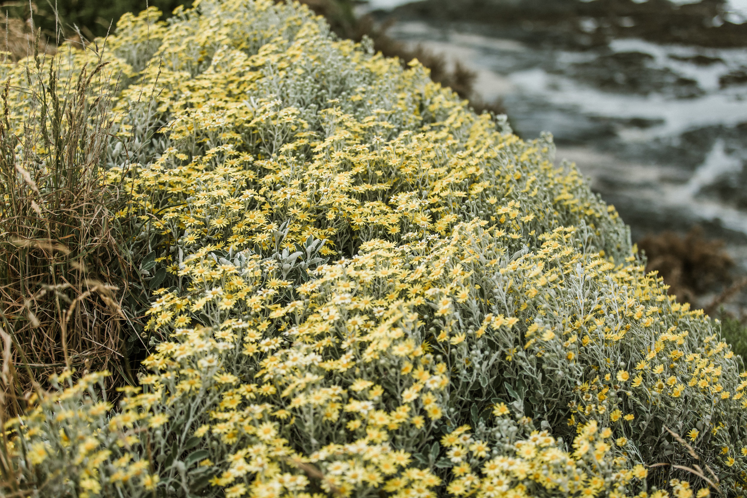 Seaside yellow wildflowers of the destination wedding at the Port Molyneux School