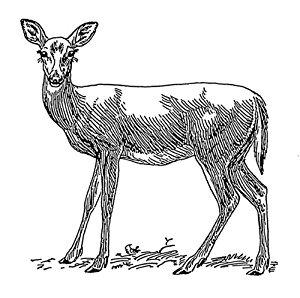deer line drawing.jpg
