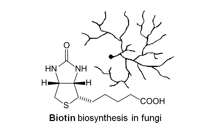 biotin_biosynthesis.png