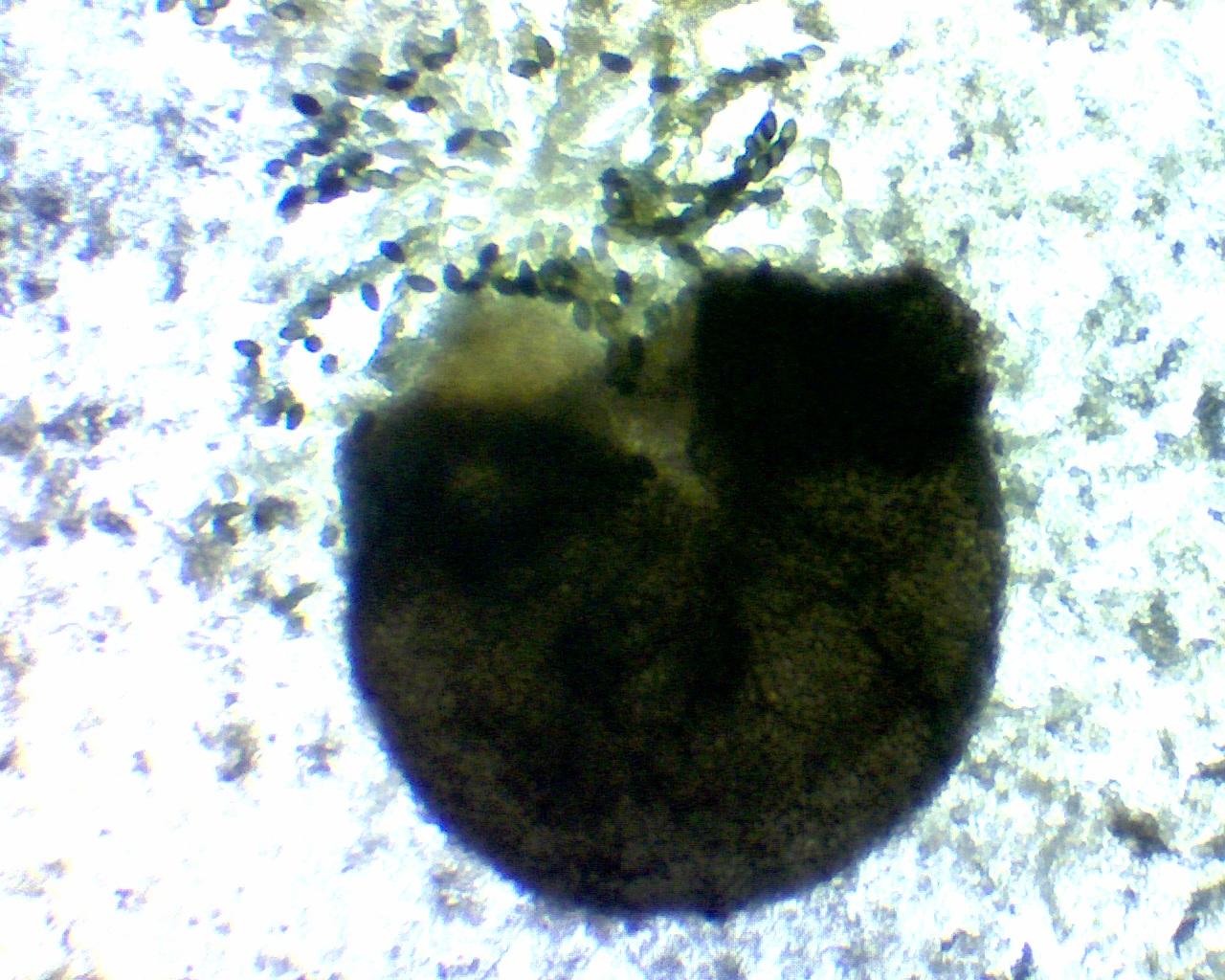 Crushed Neurospora perithecium