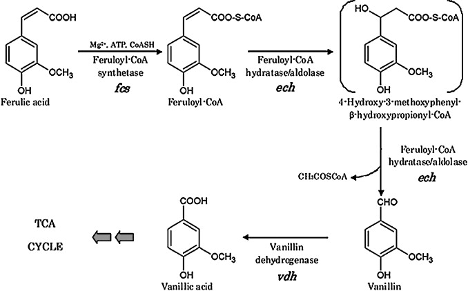 "This schematic was copied from Di Gioia, Diana, et al. ""Metabolic engineering of Pseudomonas fluorescens for the production of vanillin from ferulic acid.""  Journal of biotechnology  156.4 (2011): 309-316."